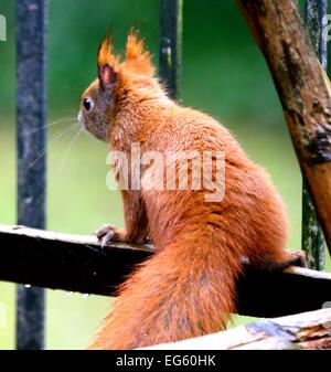 Red squirrel in the rain - Stock Photo