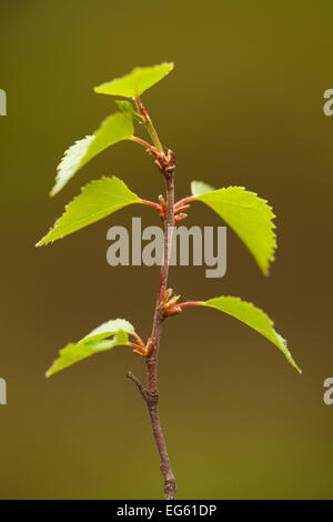 Silver birch (Betula pendula) close-up of fresh leaves in spring, Beinn Eighe NNR, Highlands, NW Scotland, UK, May - Stock Photo