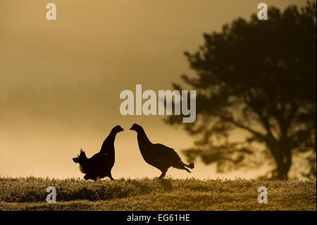 Silhouette of two male Black grouse (Tetrao tetrix) displaying at lek at dawn, Cairngorms NP, Grampian, Scotland, UK, April. 2020VISION Book Plate.