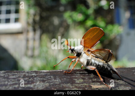 Common cockchafer / Maybug (Melolontha melolontha), opening its wings to take off from garden bench with house in - Stock Photo