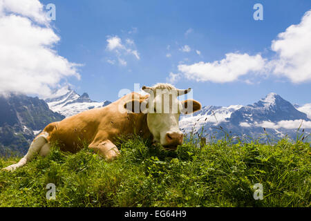 Cow lying down in the Bernese Alps, Switzerland - Stock Photo