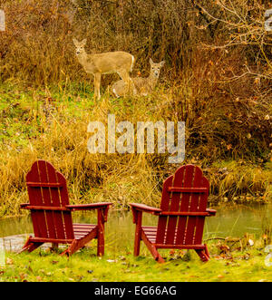 Mule Deer in backyard of home with Adirondack Chairs near stream. Boise, Idaho, USA - Stock Photo