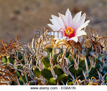 [Turbinicarpus schmiedickeanus var. schmiedickinus].  Very rare in the wild.  Chihuahuan Desert.  Tamaulipas State, - Stock Photo