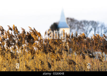 Reed  in sunset, shine, sunbeam, backlight, a catholic church in bacground with trees, countryside in Transilvania, - Stock Photo