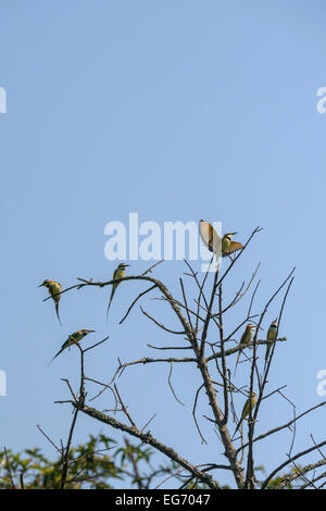 A group of white-throated bee-eaters in a tree against a blue sky. One has an insect in its beak. - Stock Photo