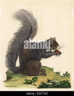 Eastern fox squirrel, Sciurus niger. Black squirrel with white nose, Sciurus niger. - Stock Photo