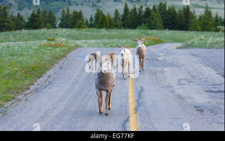 an analysis of the native north america by big horn sheep Three private organizations, the foundation for north american wild sheep, the rocky mountain bighorn society and the society for the conservation of bighorn sheep, raise funds for research and management.