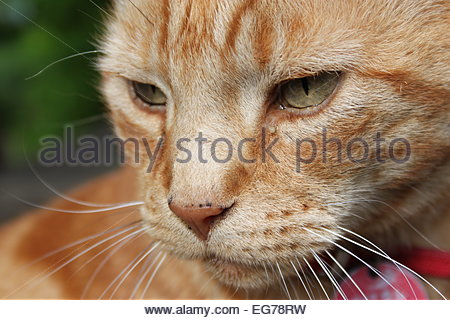 A domestic short-haired ginger tomcat relaxing on a garden table in Suffolk, United Kingdom. - Stock Photo