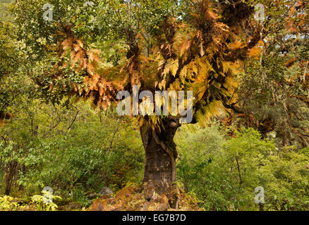 BHUTAN - Tree covered with ferns in fall colors indicates damp environment along this narrow section of the Paro - Stock Photo