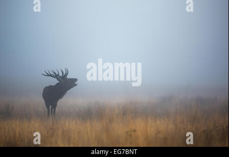 A red deer stag bellowing in the blue mist before sunrise in Richmond Park, London - Stock Photo
