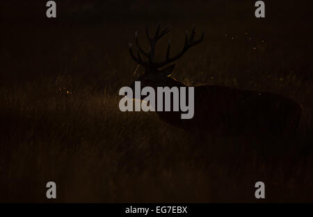 A Red deer stag photographed in Richmond Park - Stock Photo