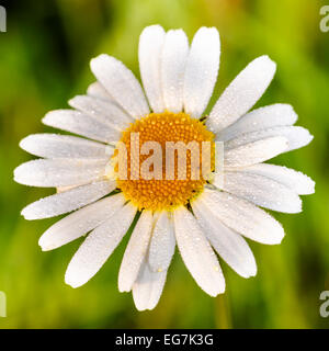 Daisy head and petals with an organic natural green background - Stock Photo