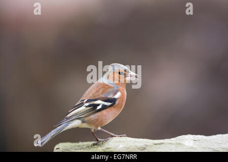 chaffinch male on rugged stone - Stock Photo