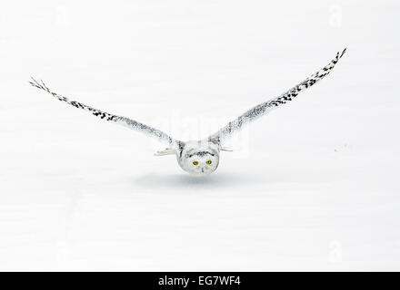 Snowy Owl on Final Approach - Stock Photo