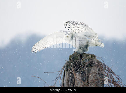 Snowy Owl Perched Snowing - Stock Photo