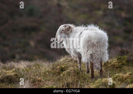 Photograph of an isolated ram on a mountain top in Wales with a natural background and looking to left - Stock Photo