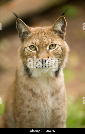 Eurasian Lynx (Lynx lynx), captive, Saxony-Anhalt, Germany - Stock Photo