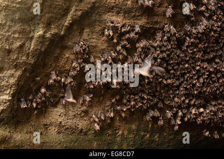 Egyptian Fruit Bat (Rousettus aegytiacus) colony roosting in mouth of cave, Bali, Indonesia, October - Stock Photo
