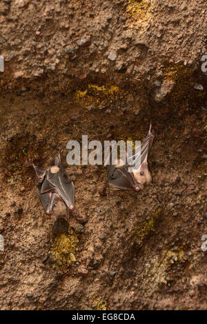 Egyptian Fruit Bat (Rousettus aegytiacus) two roosting in mouth of cave, Bali, Indonesia, October - Stock Photo