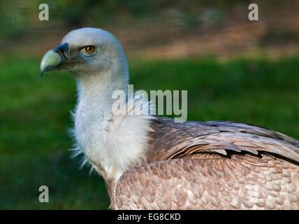 Eurasian Griffon Vulture (gyps fulvus) - Stock Photo