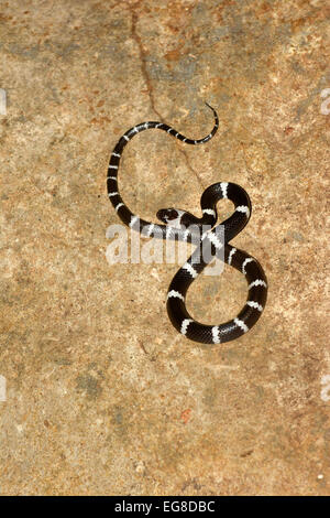 Malayan Banded Wolf Snake (Lycodon subcinctus) resting on rock, Bali, Indonesia, October - Stock Photo