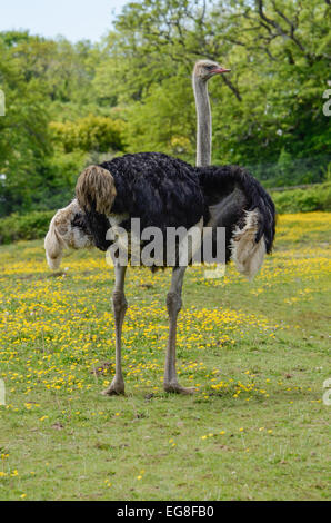 male ostrich in a field of buttercups facing right - Stock Photo