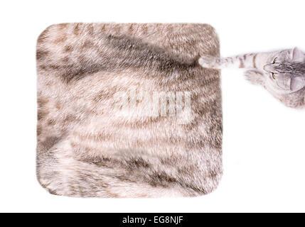 cat on the fur carpet - Stock Photo