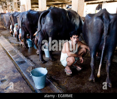 Aarey Milk Colony is a conglomeration of private buffalo dairy farms situated in Goregaon a suburb of Mumbai. It - Stock Photo
