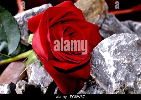 Red rose between two rocks - Stock Photo