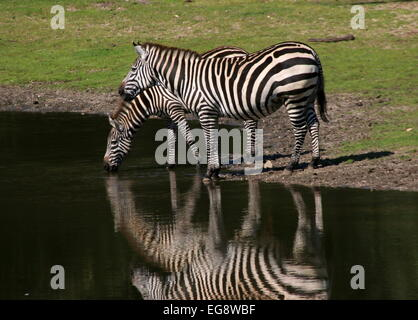 Two Grant's zebras (Equus quagga boehmi) drinking water at a watering place - Stock Photo