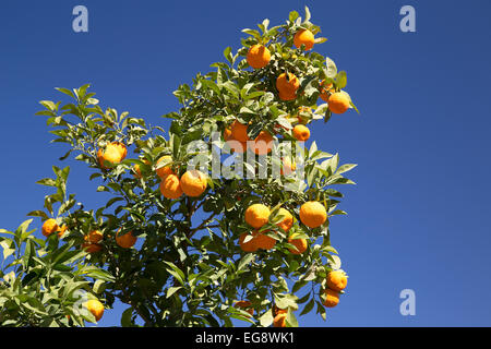 Seville oranges growing on tree against a bright blue sky - Stock Photo