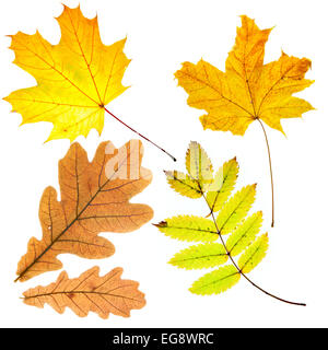 Dry fallen leaves isolated over whte background - Stock Photo