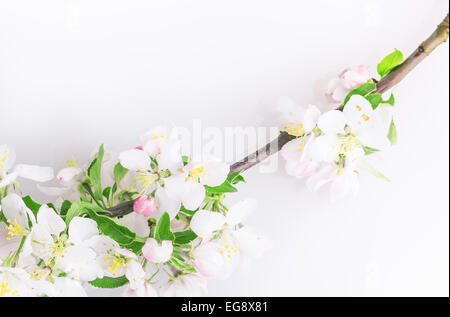 tree flower buds isolated on white background - Stock Photo