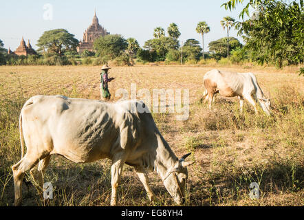 Local farmer moves skinny cows through fields with ancient Buddhist temples on plains of Pagan,Bagan,Burma,Myanmar. - Stock Photo