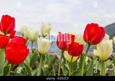 Bright red and white tulips in early spring. - Stock Photo