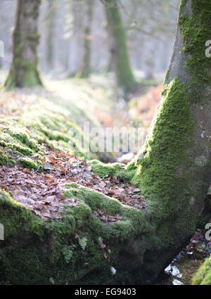 Soft filtered winter sunlight penetrating the trees to the undergrowth and the forest floor in the New Forest, Hampshire - Stock Photo