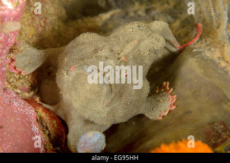 Red-fingered anglerfish, Porophryne erythrodactylus, at Kurnell, New South Wales, Australia. - Stock Photo