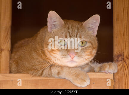 Ginger tabby cat resting on a rustic wooden staircase, looking attentively down at the viewer - Stock Photo