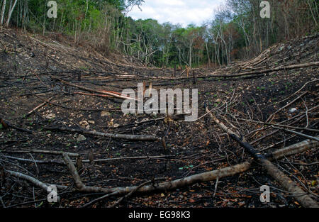 Shifting cultivation (slash and burn) field recently converted from tropical rain forest to agricultural land for - Stock Photo