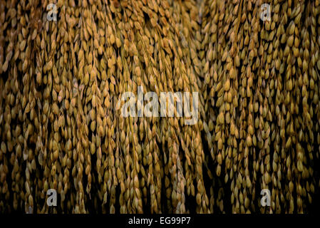 Rice in the husks being displayed during a traditional harvest festival in Ciptagelar village, Indonesia. - Stock Photo
