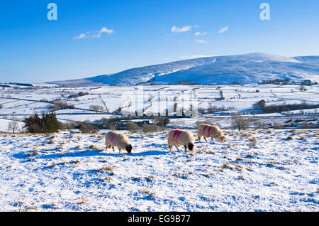 Sheep grazing in snow on high moorland pasture on the Northern fells near Caldbeck, Lake District, Cumbria, England - Stock Photo