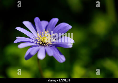 Anemone Blanda in close up with deep blue petals and yellow centre. - Stock Photo