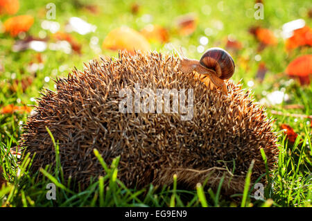 Snail walking on the back of the hedgehog - Stock Photo