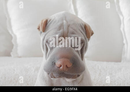 Portrait of shar-pei dog at home - Stock Photo