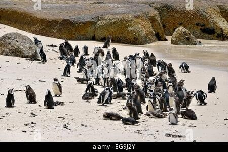 Jackass Penguins (Spheniscus demersus), colony, Table Mountain National Park, The Boulders, Simon's Town, Western - Stock Photo