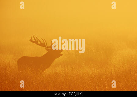 Red deer stag bellowing at sunrise. Richmond Park London - Stock Photo
