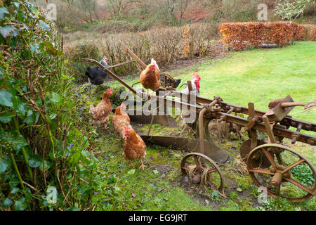 Free range chickens hens perch on an old rusty in a smallholding rural garden in Carmarthenshire, West Wales UK - Stock Photo