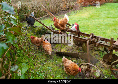 Free range chickens hens with cockerel rooster perch on an old rusty in a smallholding rural garden in Carmarthenshire, - Stock Photo