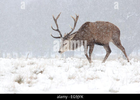Red deer stag in snow in Richmond Park, London - Stock Photo