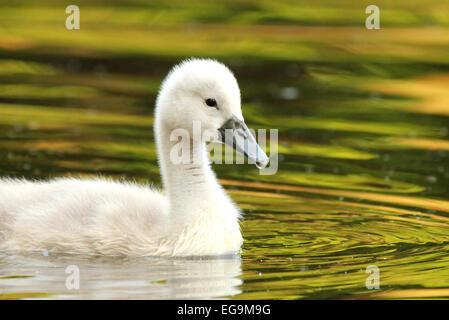 Mute swan cygnet. London UK - Stock Photo